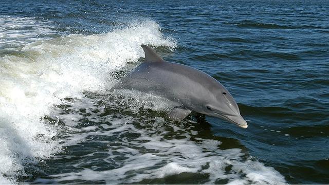 delfín ve vlnách