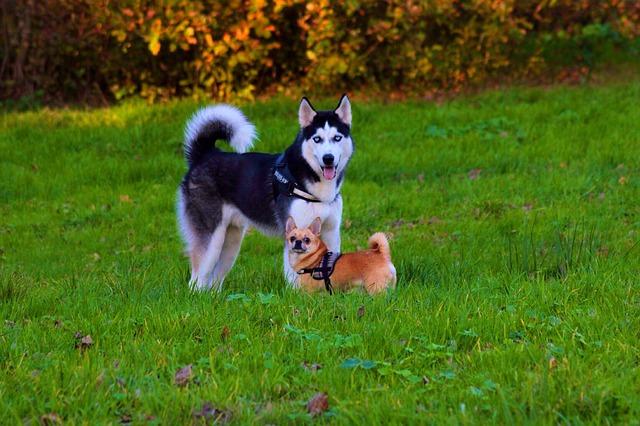 husky a čivava v trávě