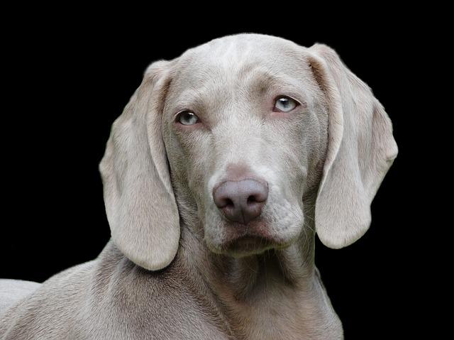 šedý pes