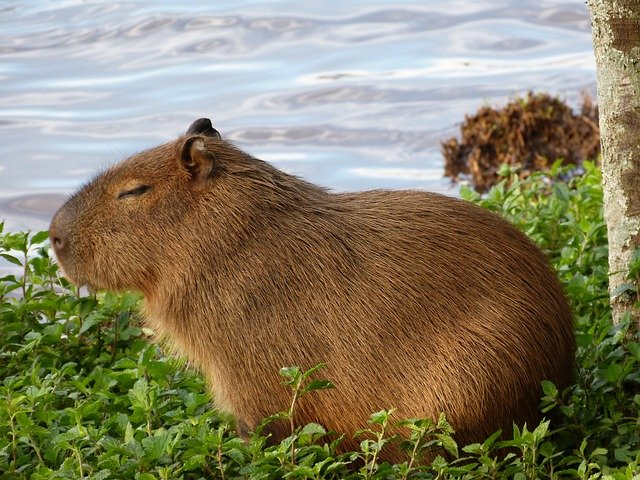 Kapybara u vody