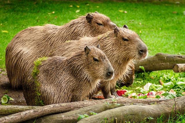 rodina kapybar