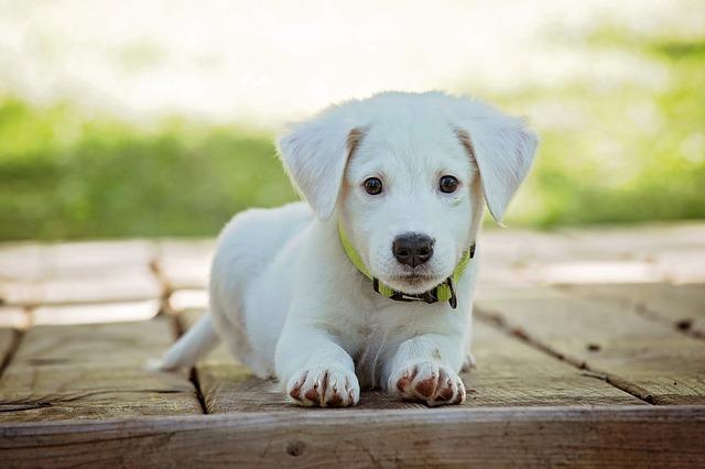 štěně